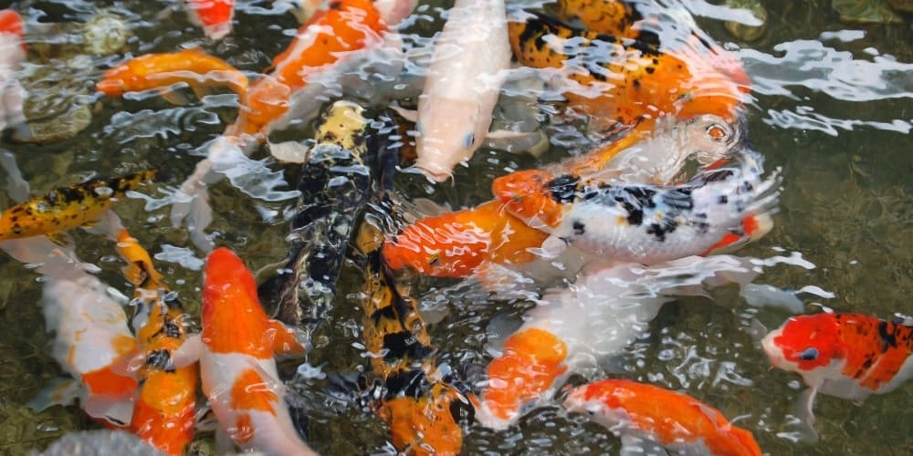 Group of Koi Carp in water