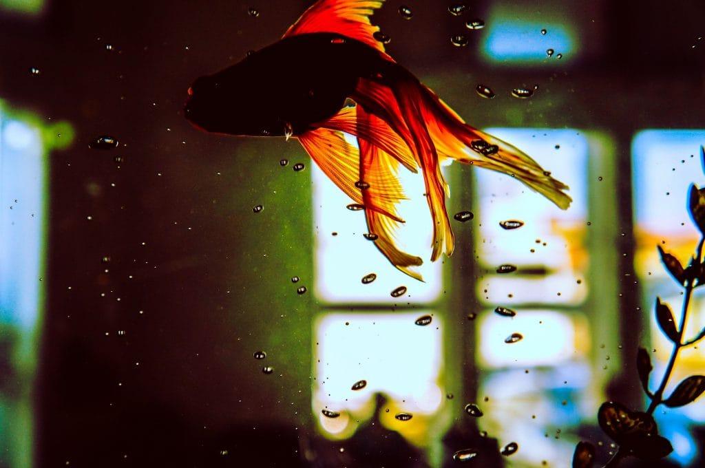 tropical fish, fish tank