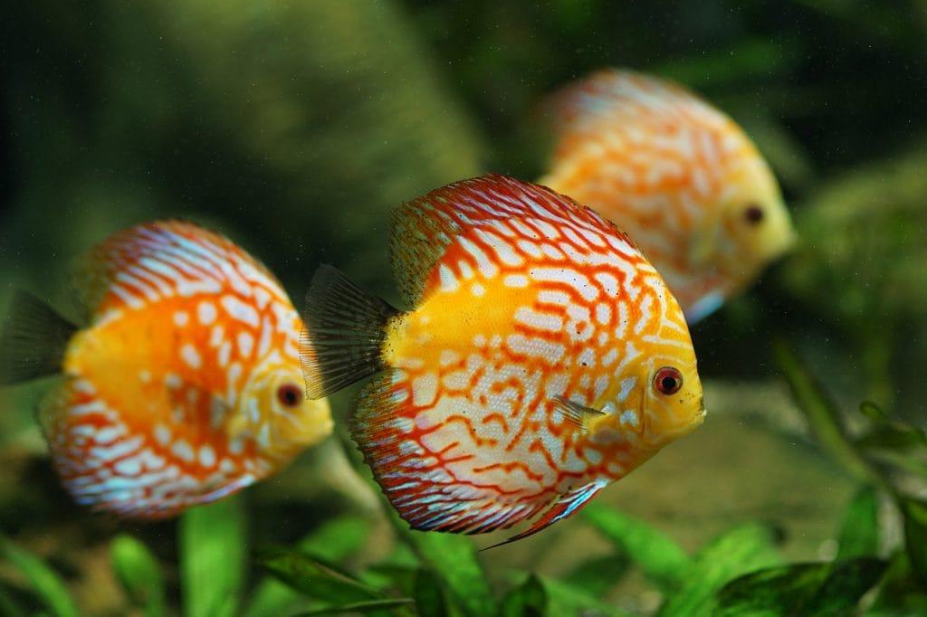 aquarium fish, fish tank, aquarium