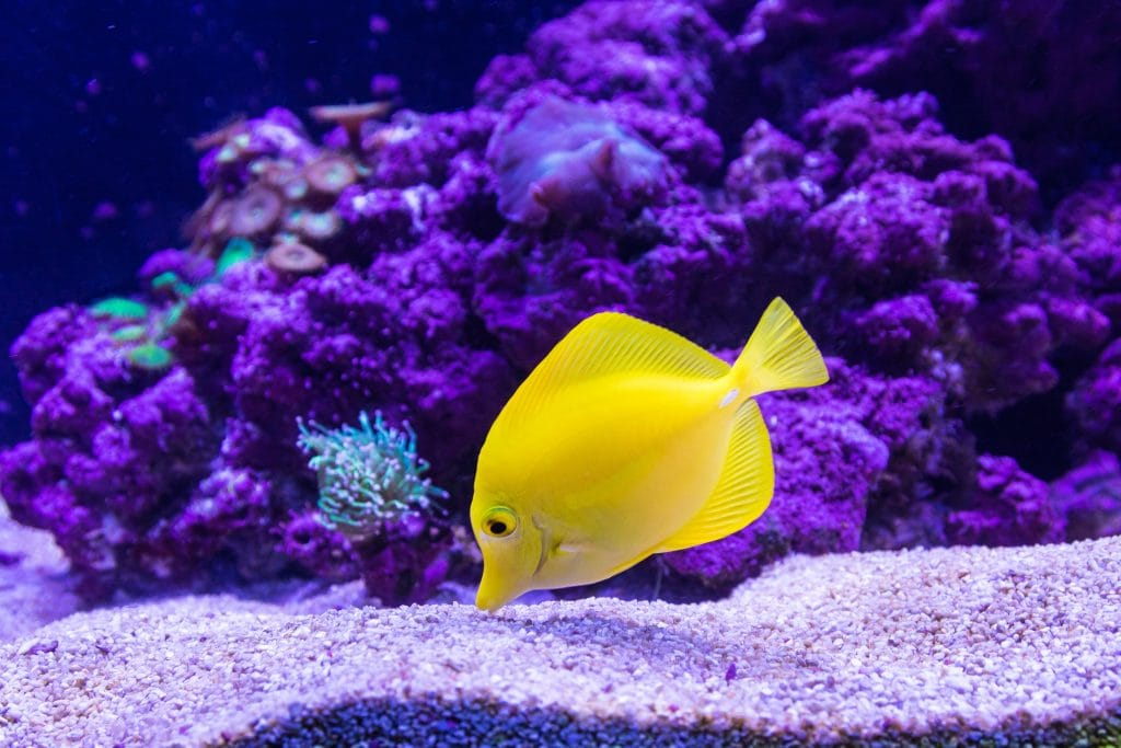 Yellow fish pecking sand in a fish tank