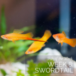 Week 8: Swordtail