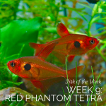 Week 9: Red Phantom Tetra