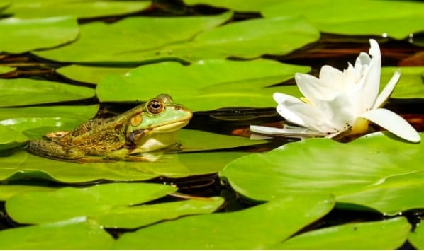 Green frog sitting on a water lilly with white flower