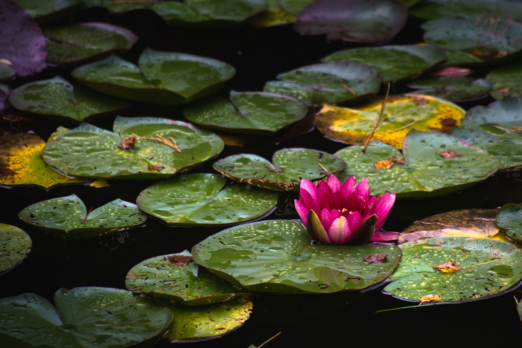 Water Lillys with Pink Flower