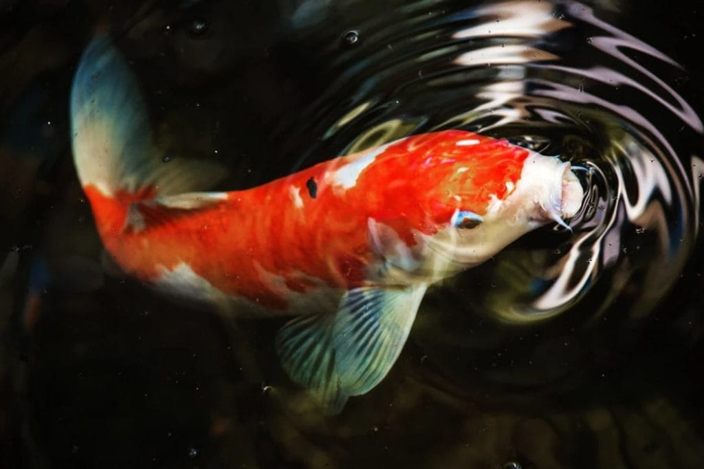 Koi Carp at the surface of the water