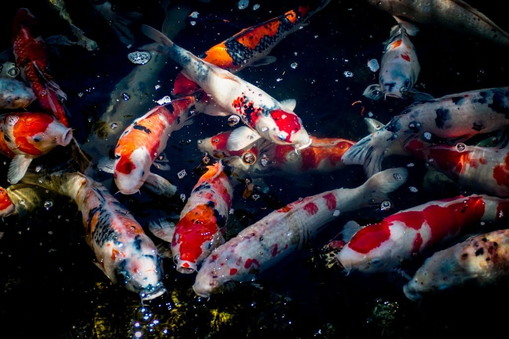 A group of Koi Carp at the surface of the water