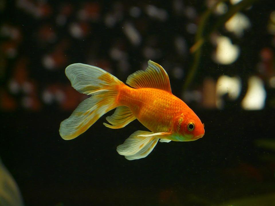 Swimming veiltail goldfish