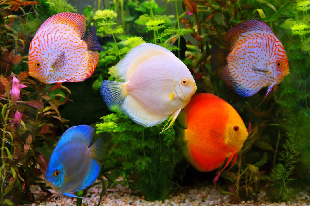 8 Best Freshwater Aquarium Fish Pond Guides Pond Planet