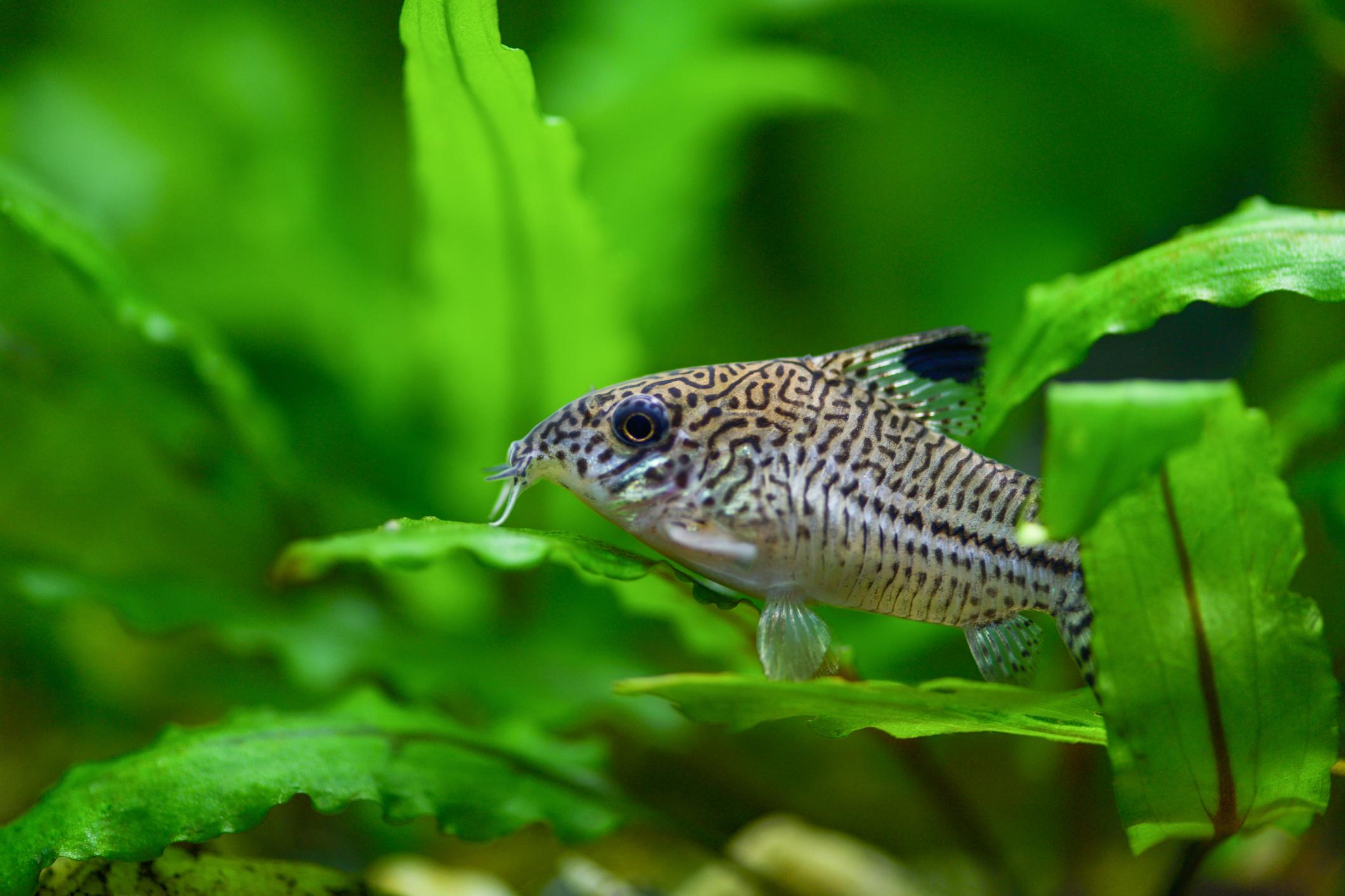 Fish sitting on a leaf in an aquarium