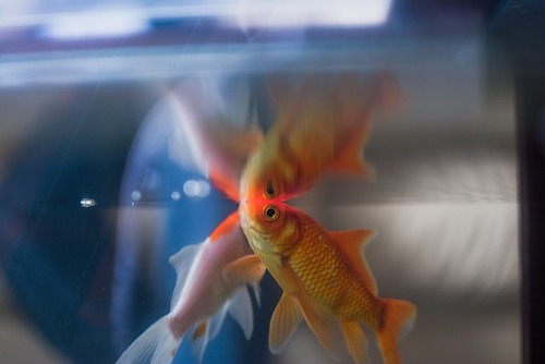 Goldfish reaching at the top surface of a fish tank