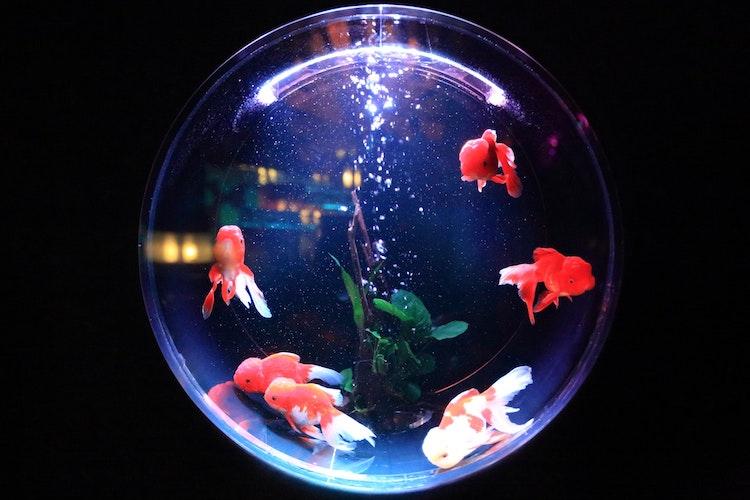 Orange fish in a spherical fish tank