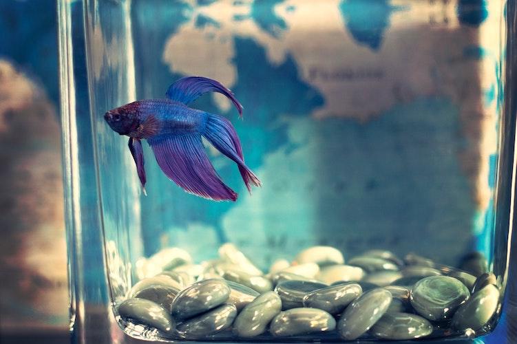 Blue fish in a fish tank