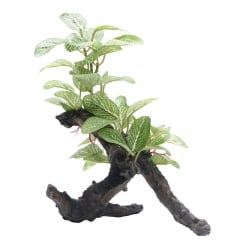 African Shade Leaf Plant On Root 20cm