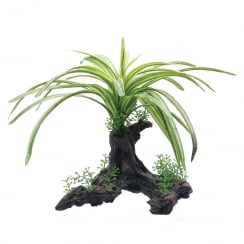 Fountain Plant on Root 25cm